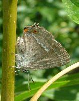 Purple Hairstreak 2005 - Andrew Self
