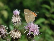 White-letter Hairstreak 2001 - Nick Sampford