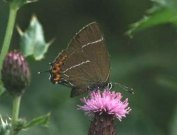 White-letter Hairstreak 2002 - John Stevens