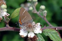 White-letter Hairstreak 2004 - Douglas Penn