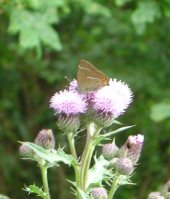 White-letter Hairstreak 2005 - John Murray