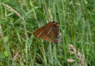 White-letter Hairstreak 2007 - Steve Lane