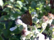 White-letter Hairstreak 2008 - Darin Stanley