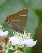 White-letter Hairstreak 2010 - Martin Johnson