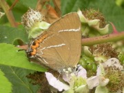 White-letter Hairstreak 2010 - Nigel Agar