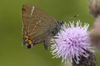 White-letter Hairstreak 2007 - Ian Hardy