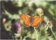 Aetherie Fritillary 2003 - Clive Burrows