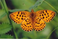 Marbled Fritillary 2004 - Clive Burrows