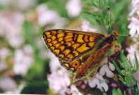 Marsh Fritillary provincialis 2004 - Clive Burrows