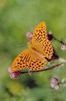 Silver-washed Fritillary 2004 - Clive Burrows