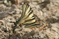Scarce Swallowtail 2006 - Roger Gibbons