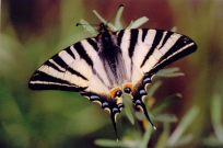 Scarce Swallowtail 2003 - Clive Burrows