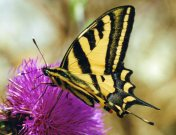 Southern Swallowtail 2003 - Clive Burrows