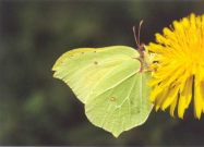 Male Brimstone 2004 - Clive Burrows