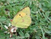Clouded Yellow 2002 - Nick Sampford