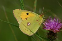 Clouded Yellow 2004 - Sandra Standbridge