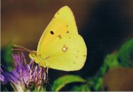 Clouded Yellow 2006 - Clive Burrows