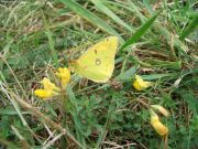 Clouded Yellow 2006 - Jez Perkins