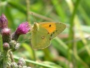 Clouded Yellow 2006 - Trevor Chapman