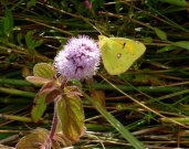 Clouded Yellow 2007 - Steve Hawkins