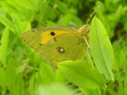 Clouded Yellow 2007 - Darin Stanley