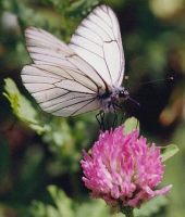 Black-veined White 2002 - Bob Hasra