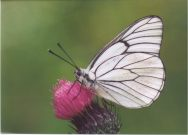 Black-veined White 2003 - Clive Burrows