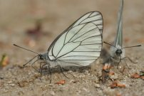 Black-veined White 2006 - Roger Gibbons