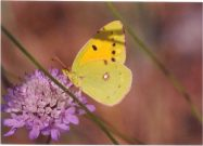 Clouded Yellow 2003 - Clive Burrows