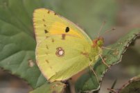 Clouded Yellow 2006 - Roger Gibbons