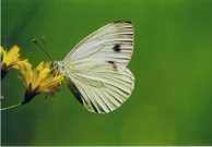 Green-veined White 2003 - Clive Burrows