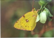 Pale Clouded Yellow 2003 - Clive Burrows