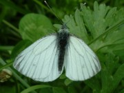 Green-veined White 2004 - Trevor Chapman