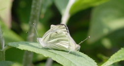 Green-veined White mating pair 2005 - David Newland