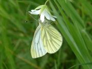 Green-veined White 2005 - Trevor Chapman