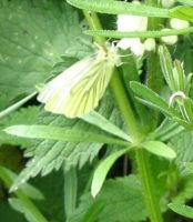 Green-veined White 2006 - Val Fullforth