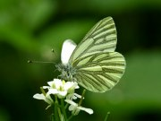 Green-veined White 2009 - Sezar Hikmet