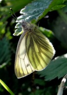 Green-veined White 2010 - Dave Miller
