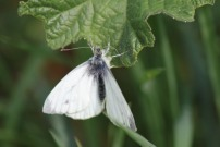 Green-veined White 2011 - Brian Knight