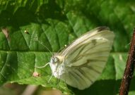 Green-veined White 2004 - Steve Chilton