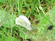 Green-veined White 2005 - Steve Lane