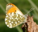 Orange Tip 2004 - Rachel Terry