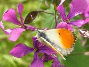 Orange Tip 2005 - Richard Bigg