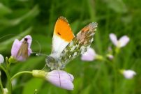 Orange Tip 2006 - David Gompertz