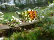 male Orange Tip 2007 - Steve Lane