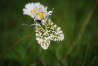 Orange Tip 2008 - Phil MacMurdie