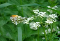 Orange Tip 2010 - Ernest Leahy
