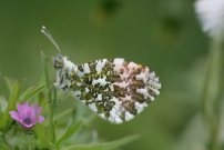 Orange Tip 2008 - Clive Burrows