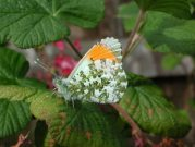 Orange Tip 2002 - Nick Sampford