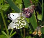 Orange Tip female 2005 - Andrew Wood